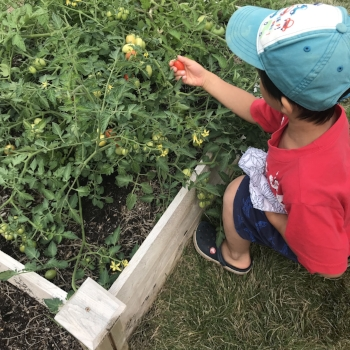 A child is looking for ripe tomatoes in the outdoor environment.