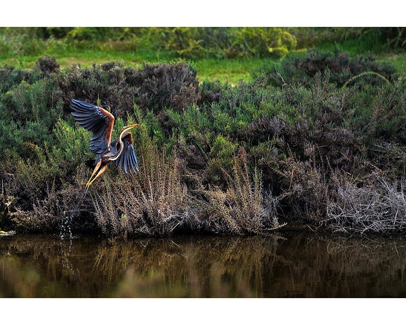 Purple Heron,Zakaki-Marsh,Limassol - photo by Silvio Rusmigo