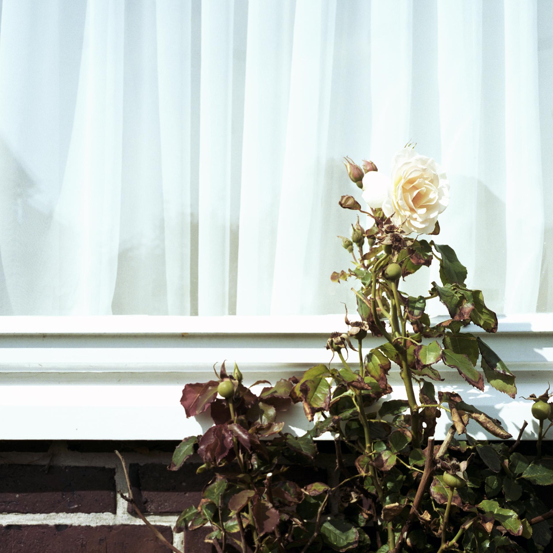 8_Rose_Westerland.jpg