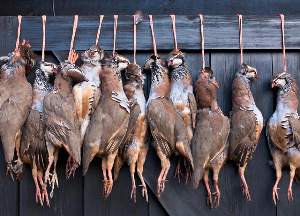 Hanging pheasant 4- shutterstock_73800454.png