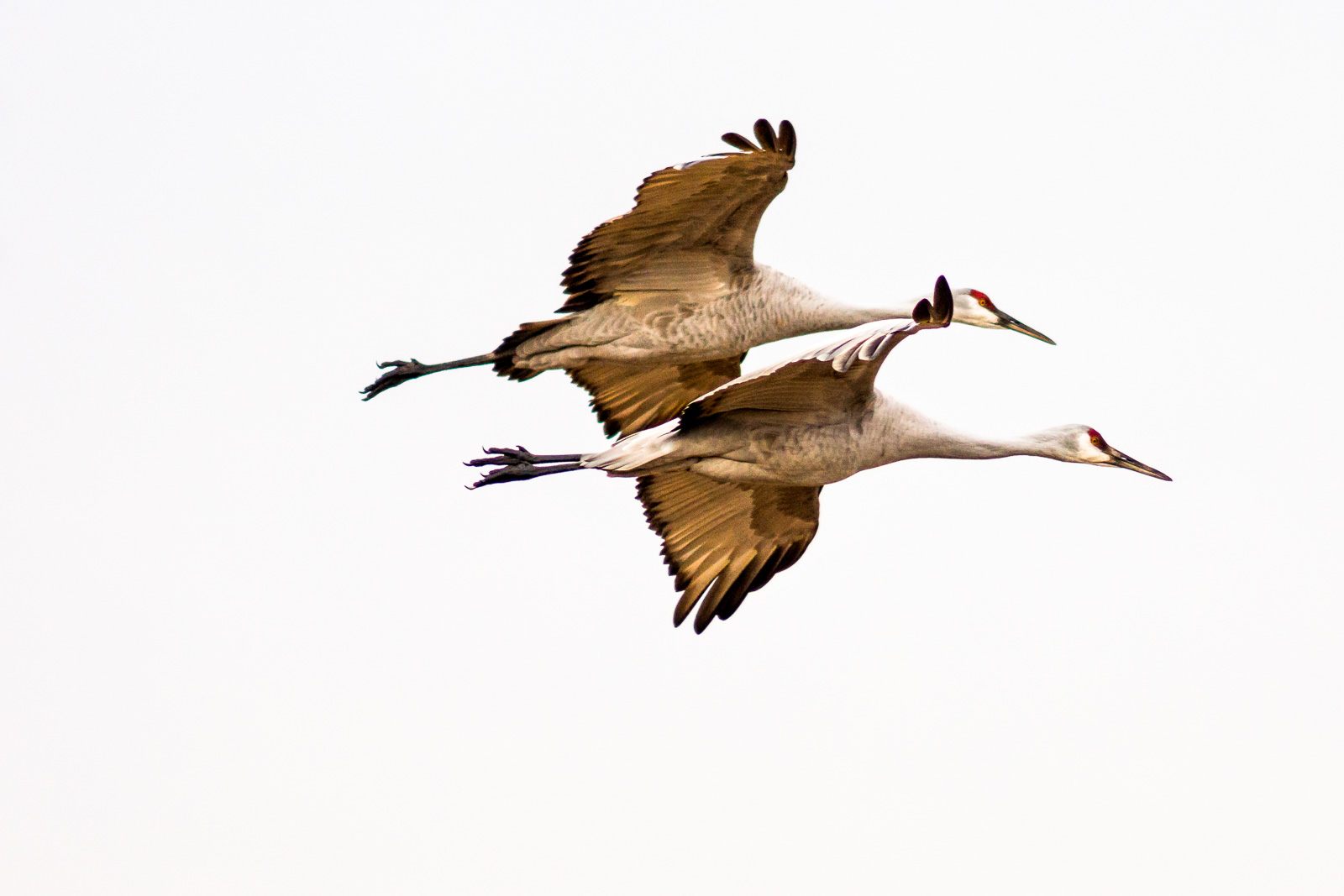 Sandhill cranes, Bosque del Apache National Wildlife Refuge, San Antonio, New Mexico