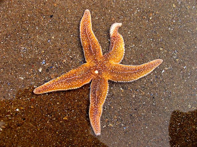 Starfish,_Caswell_Bay_-_geograph.org.uk_-_409413.jpg