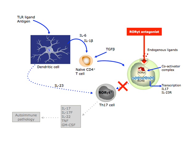 Inhibition of RORyt blocks Th17 cell activation by IL23, preventing release of IL17 and other proinflammatory cytokines that drive autoimmune pathology