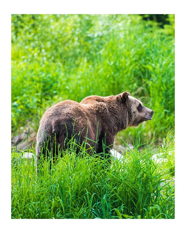 A story from Glacier National Park: A mother and her cub were within maybe a dozen feet away from where I stood. I was heading back from a short walk with my folks in Glacier NP, I had been walking faster than them, my mind wandering, so it was just me on the trail. There was a space between trees beside the trail, and for some reason my eyes were drawn to the negative space. Suddenly, and silently, a grizzly bear stepped into the clearing. I watched her carefully as I slowly kept moving. The brush around her was shaking; she had a cub with her. As I passed, the mother looked and locked eyes with me. I passed out of her direct line of sight but she was walking my way now. I put a few dozen feet between me and her, walking backwards, as she stepped out onto the trail. She didn't seem to mind my being there, and soon enough her cub came bounding out from the bushes. They stood there for some time, inspecting the trail and smaller vegetation at its edge. Neither the mother nor the cub paid much attention to me. I paid a lot of attention to them of course, partially frustrated that I didn't have my camera on me, partially glad I didn't. It was more than enough just to have been in their presence, with no safety net, no car door between us. Powerlessly vulnerable in their space. Eventually they wandered off into the bushes in the other side of the trail and disappeared as quickly as they had appeared. I made my way back down the rest of the trail, humbled.  In place of photos of the mother and cub, here's a favorite of mine from time watching a male grizzly in Canada.