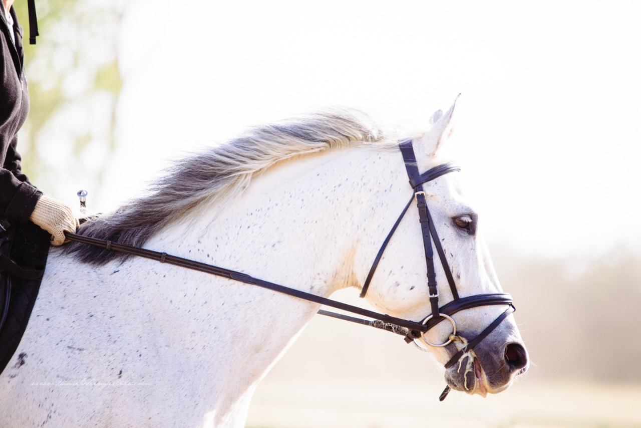 Lower level AQHA Dressage Horse.