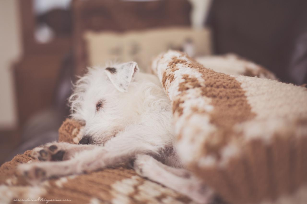 Charlotte, my sweet Jack Russell Terrier enjoying a winter nap.