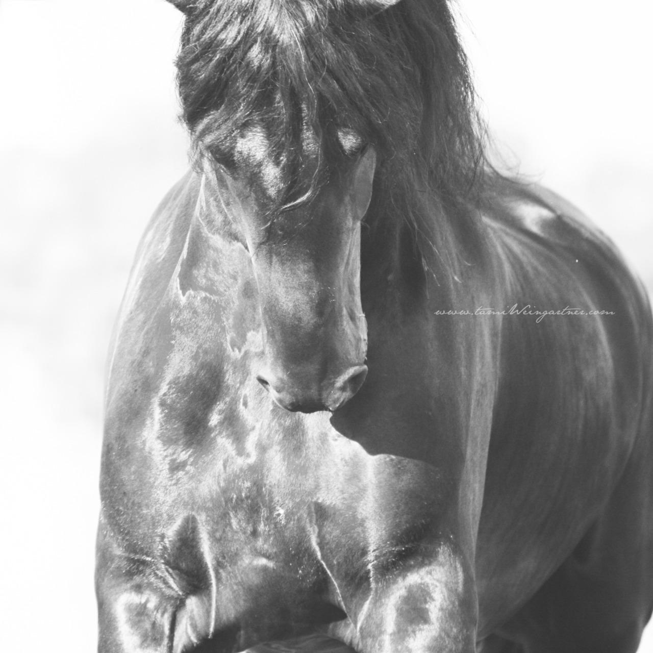 Friesian Stallion charging in Kentucky.
