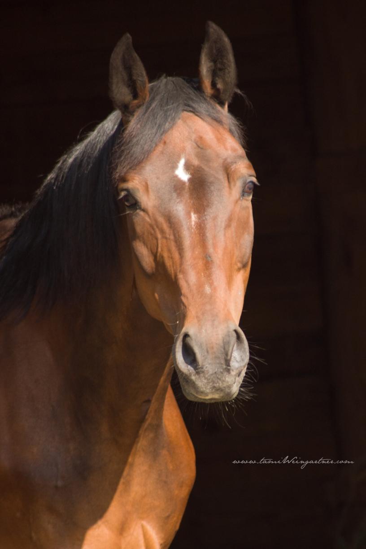 The very lovely, Obligato. Retired Hanoverian Dressage horse.