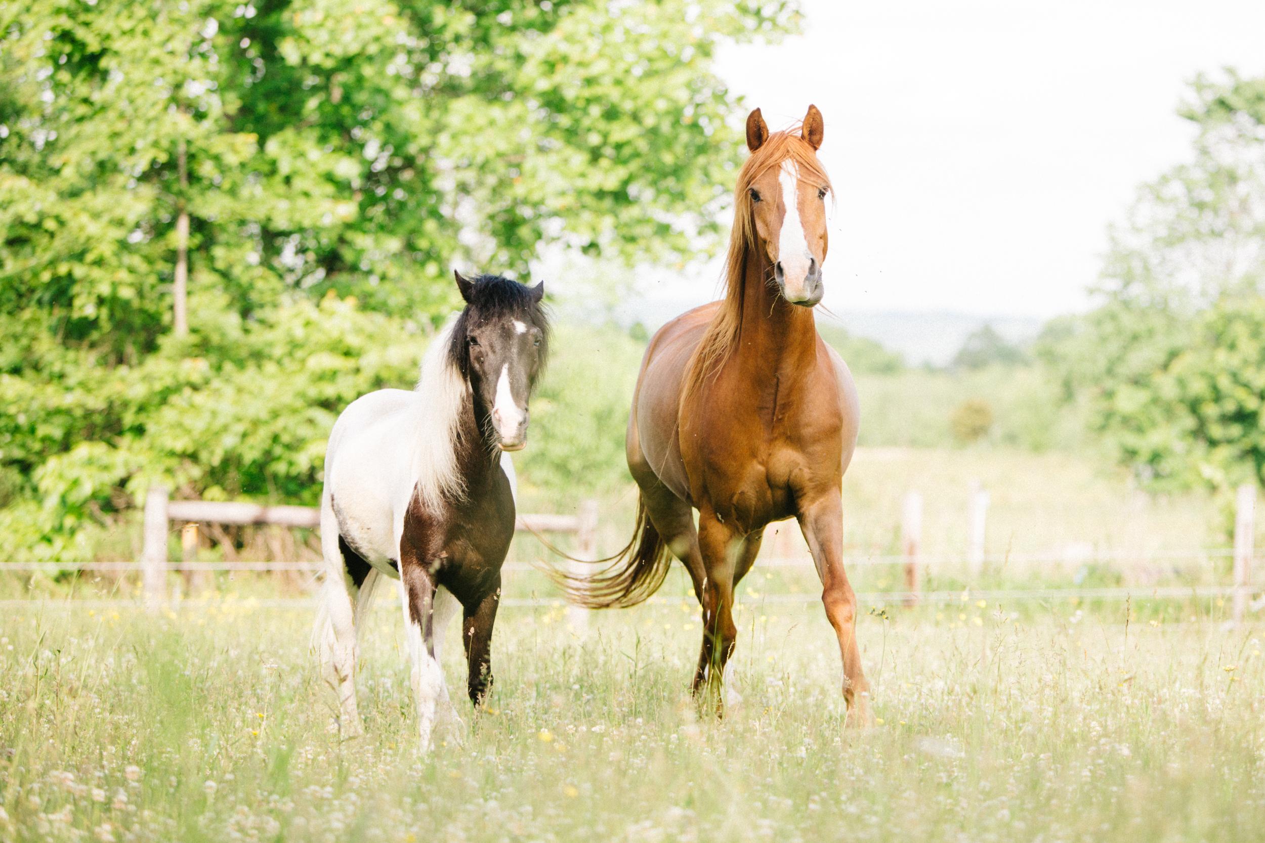 Ponies_Trotting_Paddock