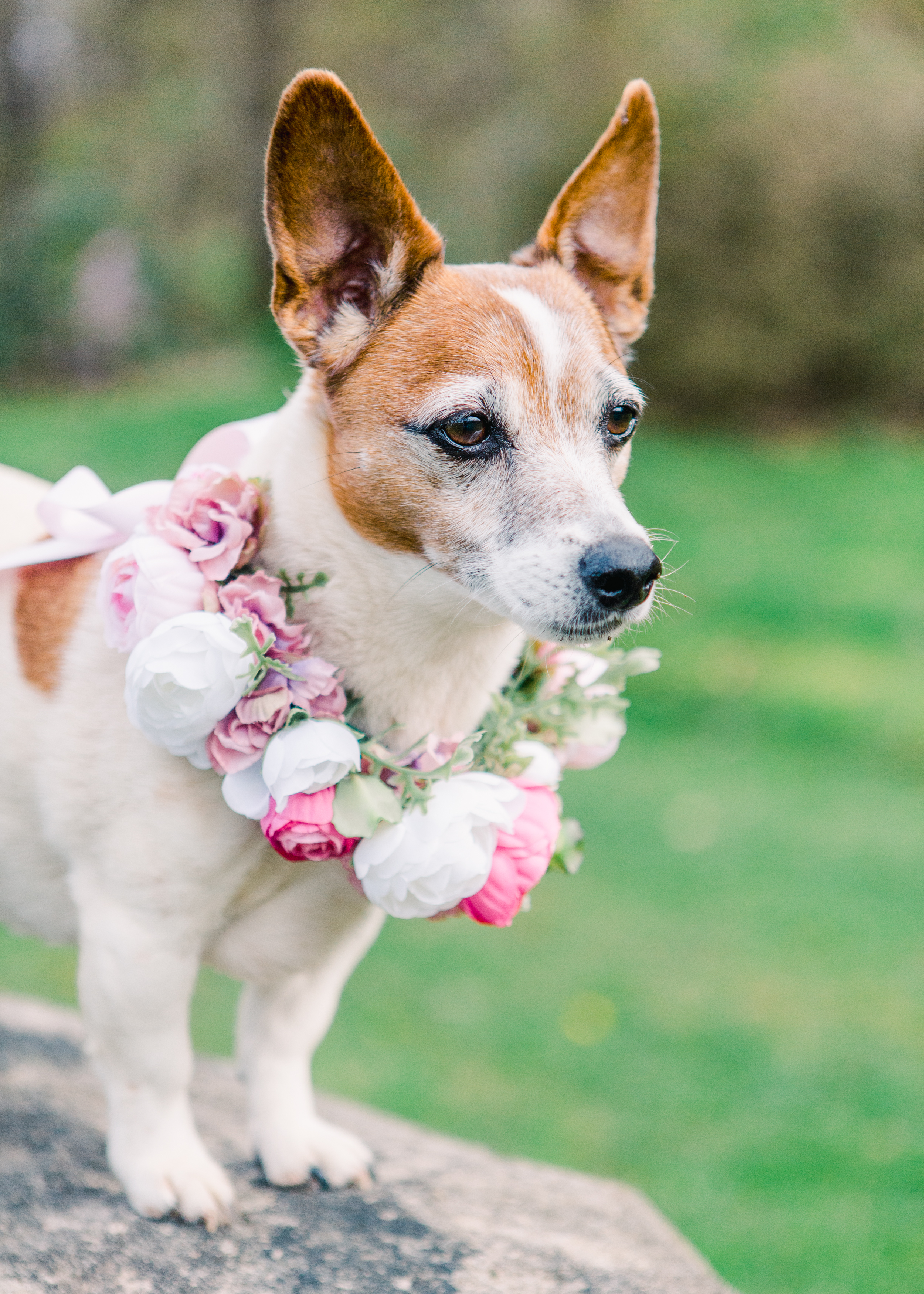 Small Irish Jack Russell Terrier standing on a rock in spring wearing a flower collar of pink, white and lavender flowers.