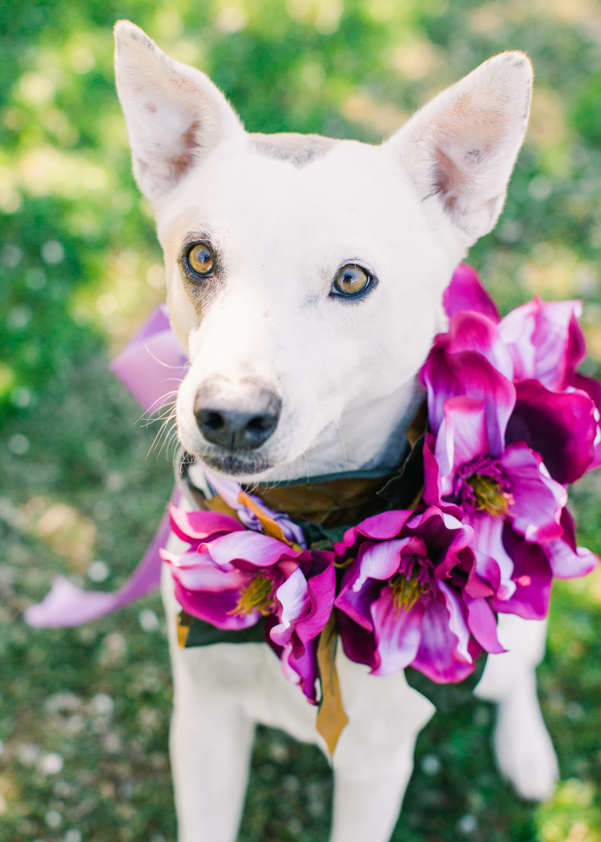 White pit bull cross with light brown eyes sitting in dappled light wearing a neck collar of magnolia blossoms.