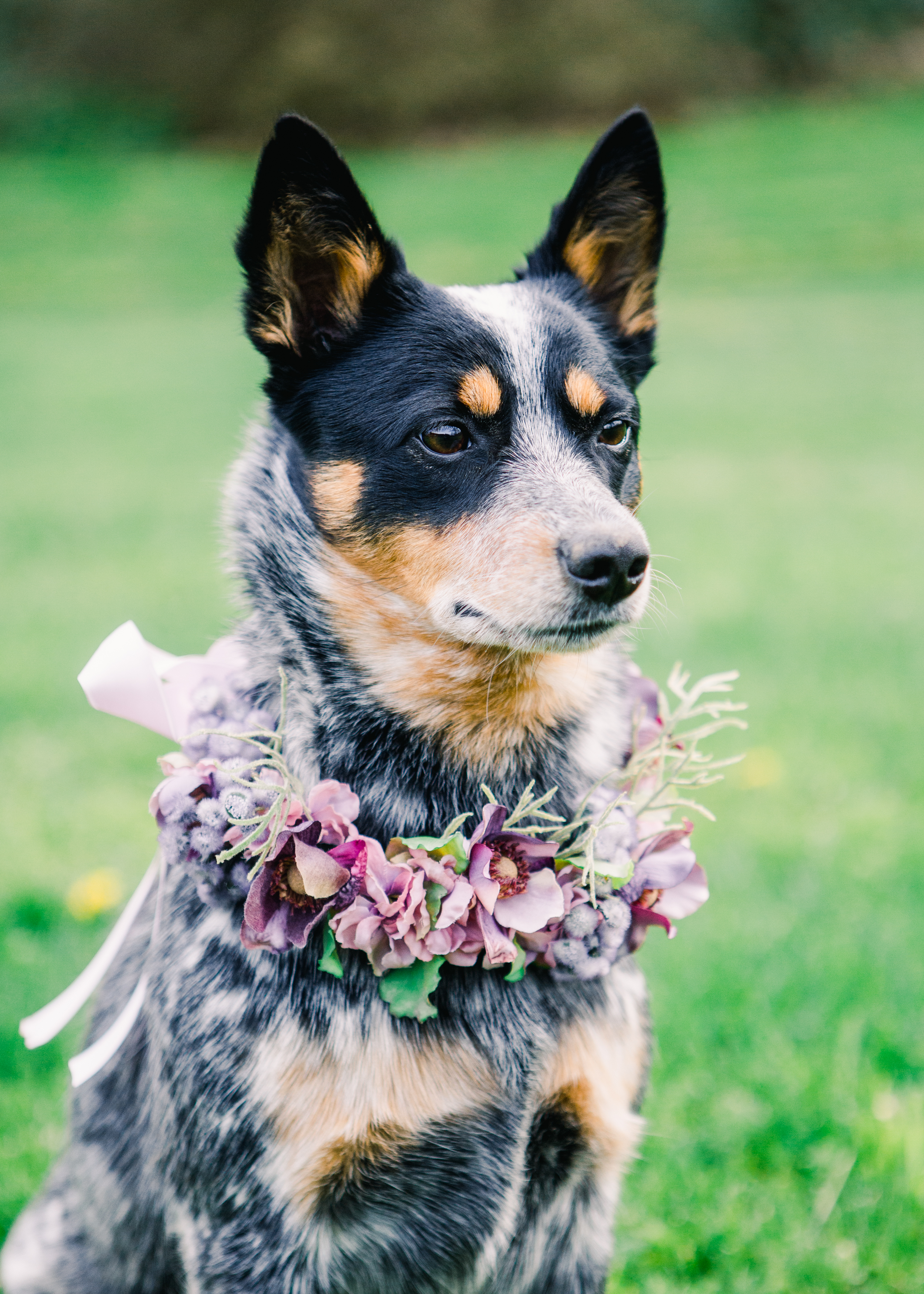 Tri Color Australian Cattle dog (Blue Heeler) wearing a flower color of purple, pink and blue with hints of dusty miller flower collar looking with attention.