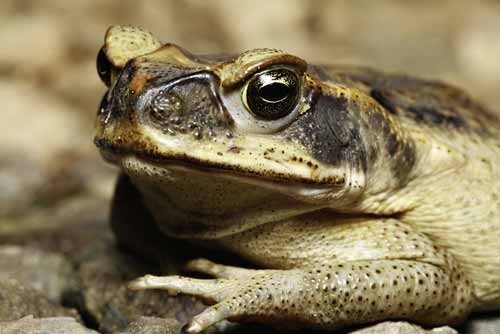CANE toad is perhaps one of the most famous invasive species