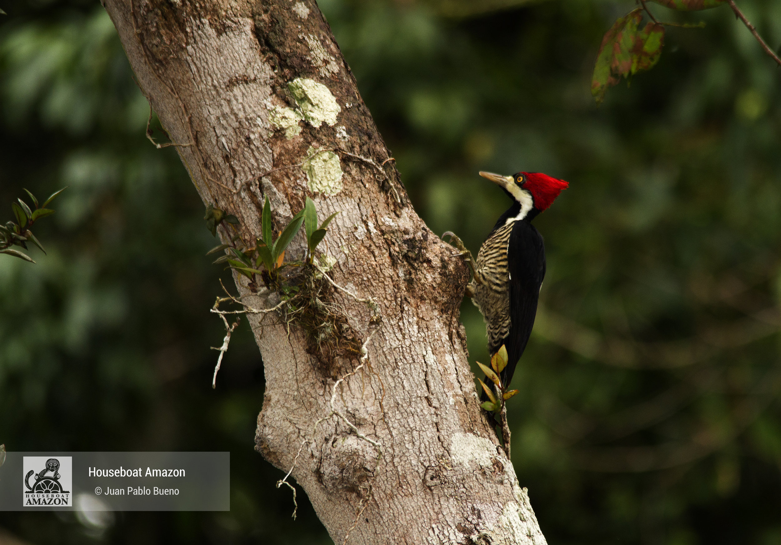 "A ""pica-pao de banda branca"" in English is a lineated woodpecker (Dryocopus lineatus) makes such a loud rap with his bill that it can be heard a kilometer away"