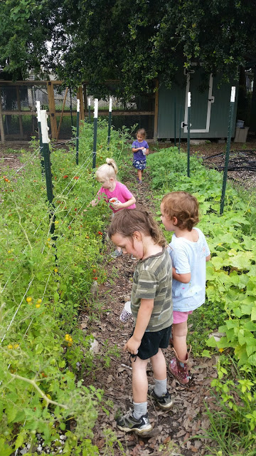 Garden on Marais 4-H Club picking tomatoes.