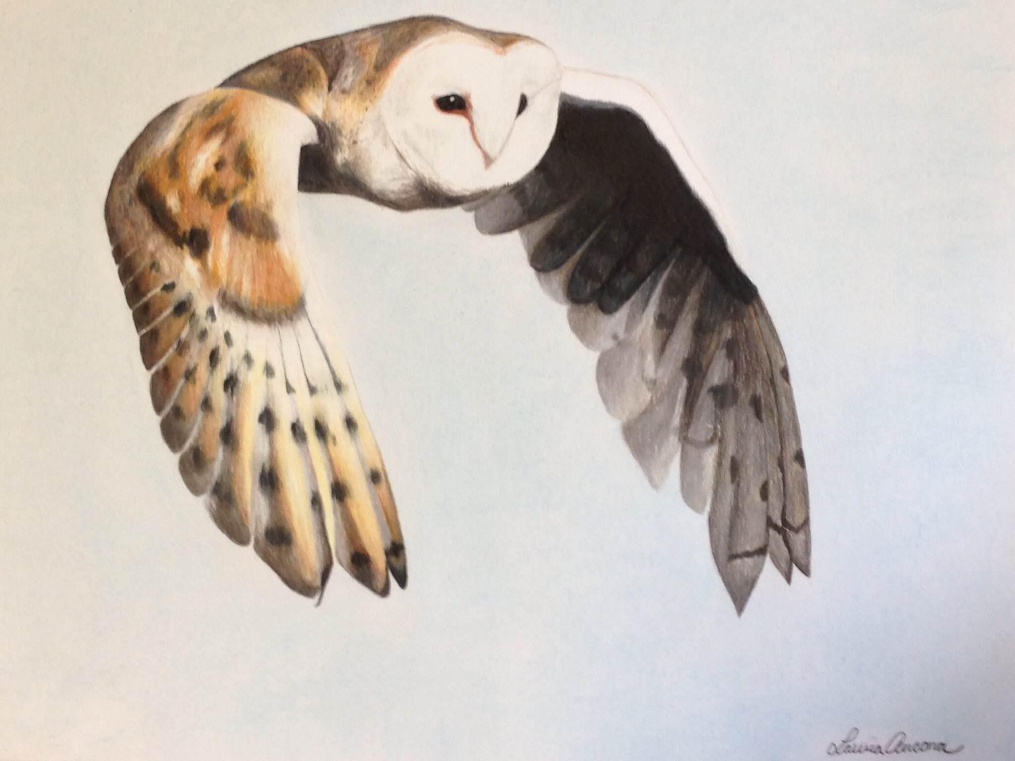 Owl (colored pencil) - Laura Ancona