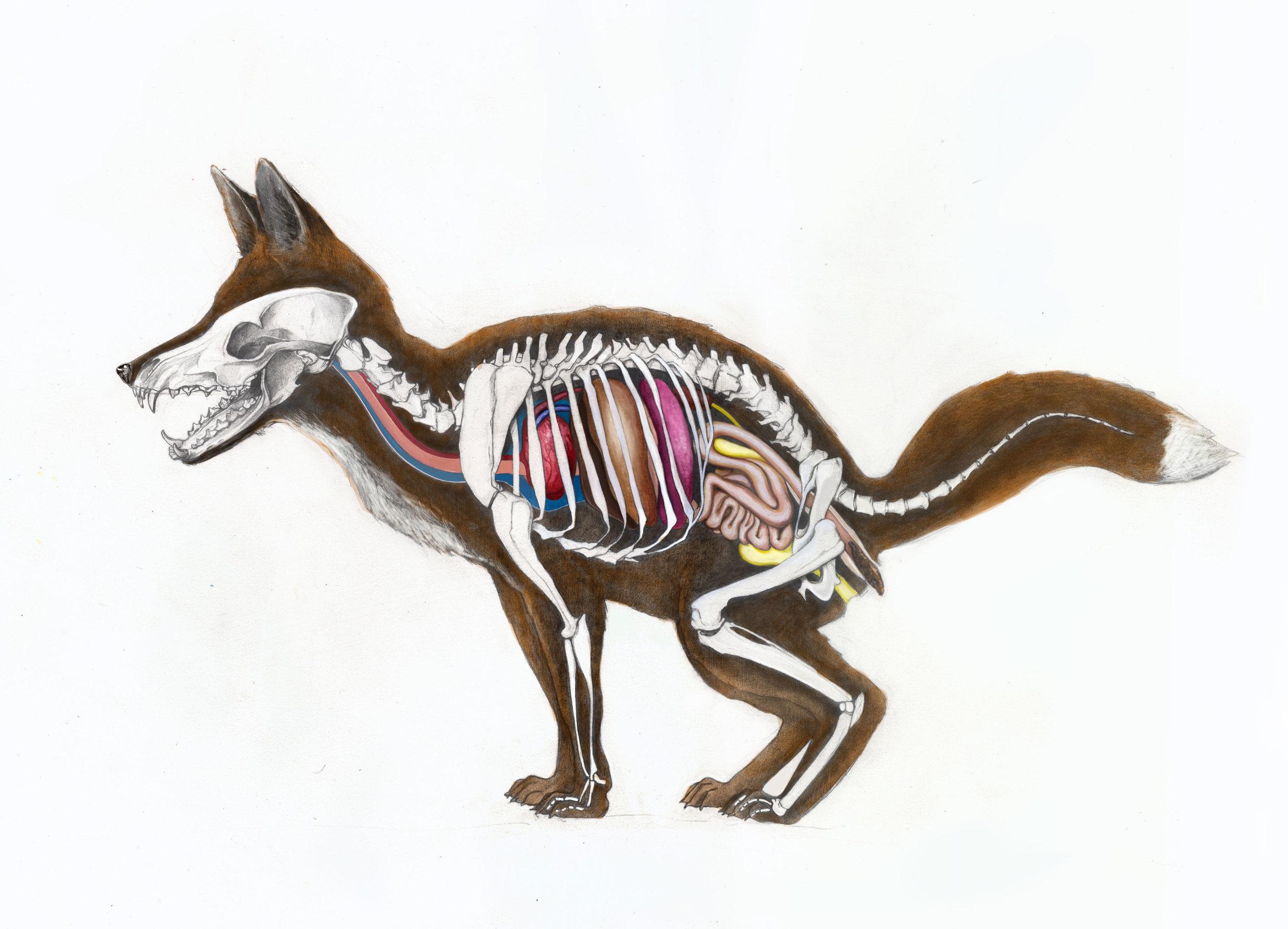 Fox anatomy, illustration for Walden-magazine