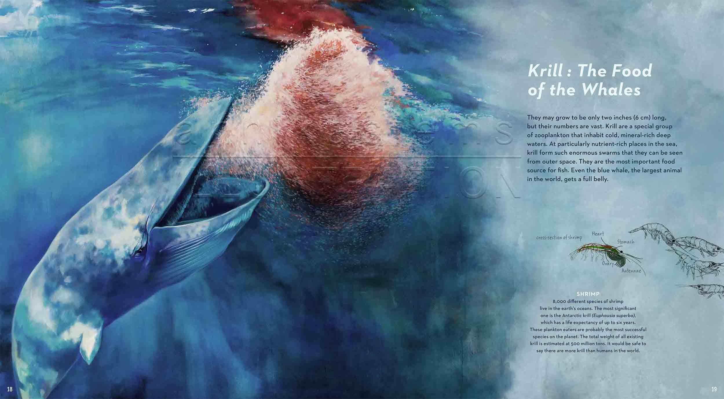18-19deep-sea-Englisch-bluewhale-krill-©annikasiems-plankton_deepsea-zooplankton.jpg