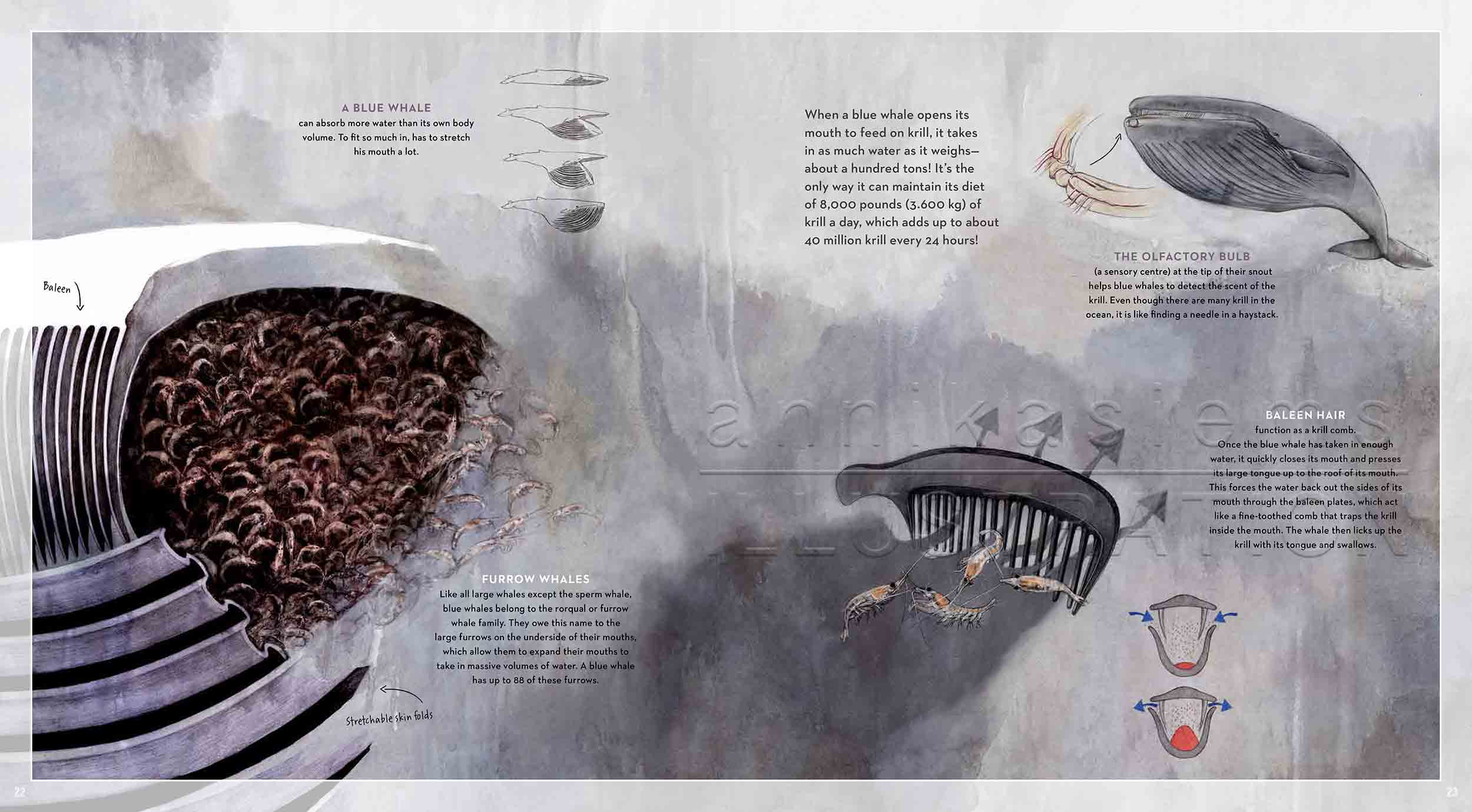 22-23-deep-sea-Englisch-infografic-baleen-bluewhale-krill-©annikasiems-plankton_deepsea-zooplankton.jpg
