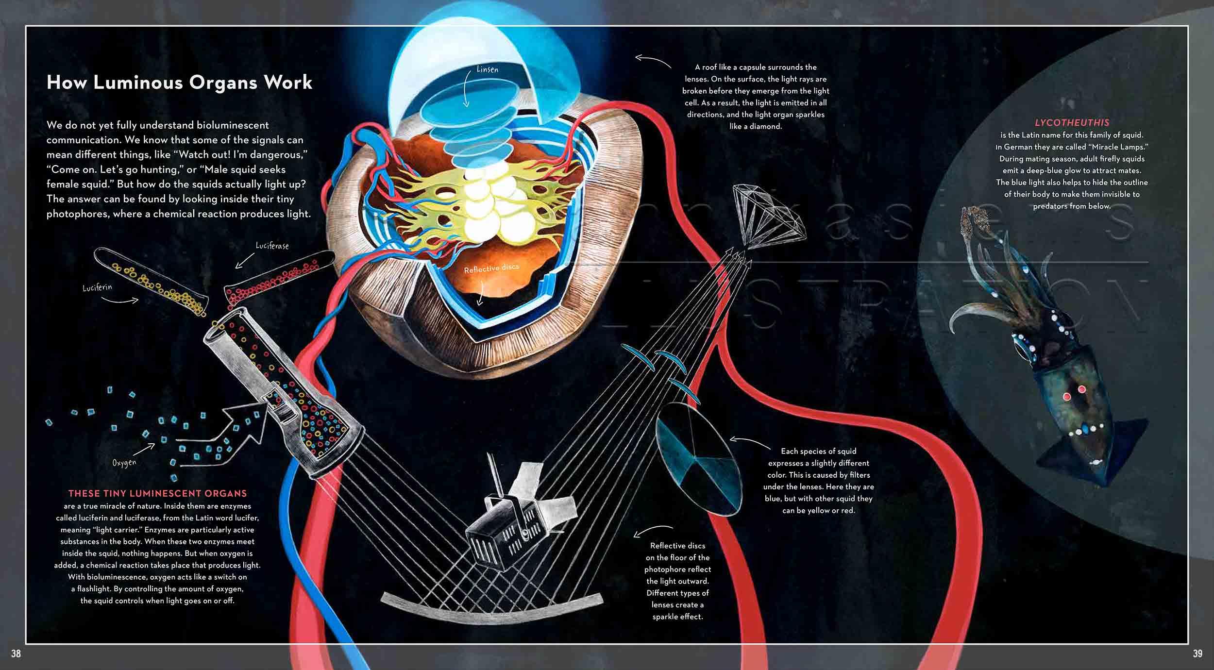 38-39-Leuchtorgan-bioluminescence-infografic-Leuchtkalmar-fireflysquidfish-fish-deep-sea-Englisch-submersible-©annikasiems-plankton_deepsea-zooplankton.jpg