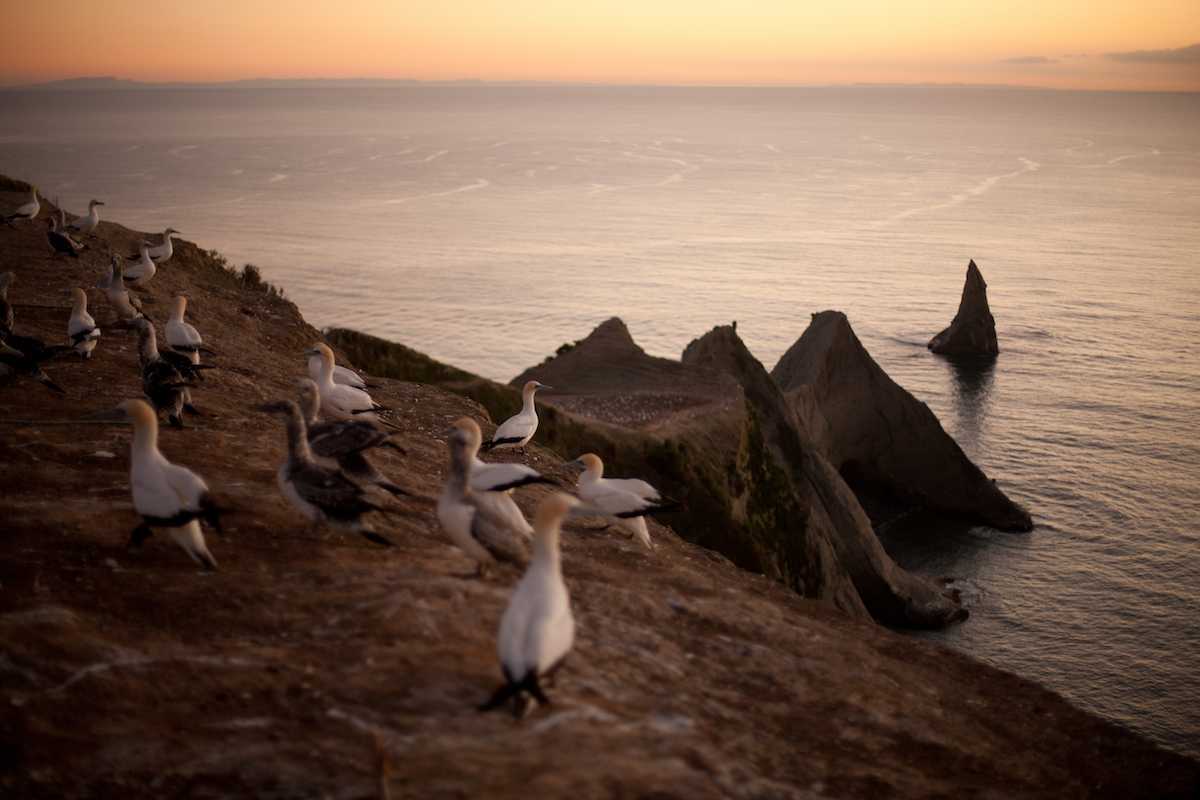 Gannet Colony at Cape Kidnappers - - Photo Credit to Hawke's Bay Tourism copy.jpg