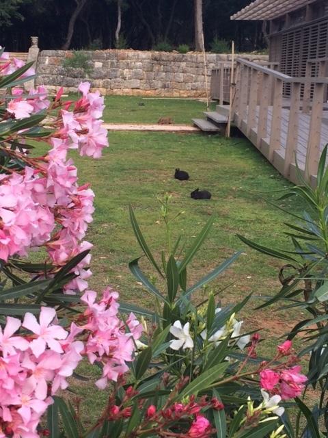 Lokrum Island bunnies
