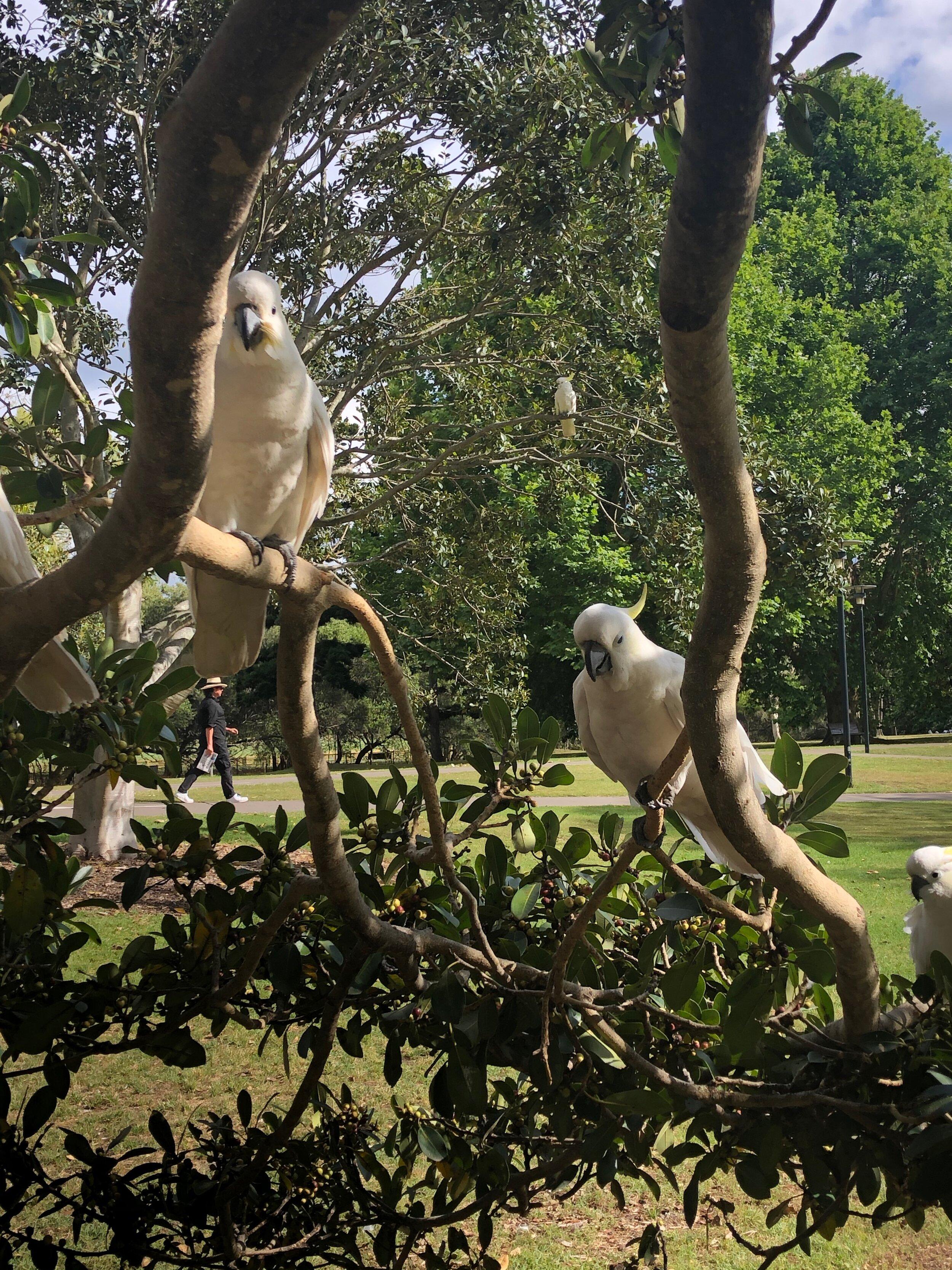 Cockatoo Sydney