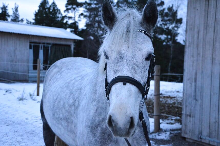 Cleo är en renrasig connemara ponny. Hon kom till ridskolan i början av 2018 och blev snabbt en av de mest uppskattade ponnierna på ridskolan. Hon är fantastiskt fin både i dressyr och hoppning och uppsakttas av alla från nybörjare till avancerade ryttare.