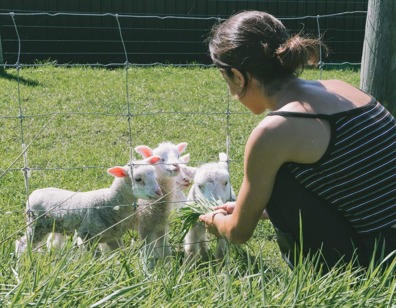 Lambs in New Zealand