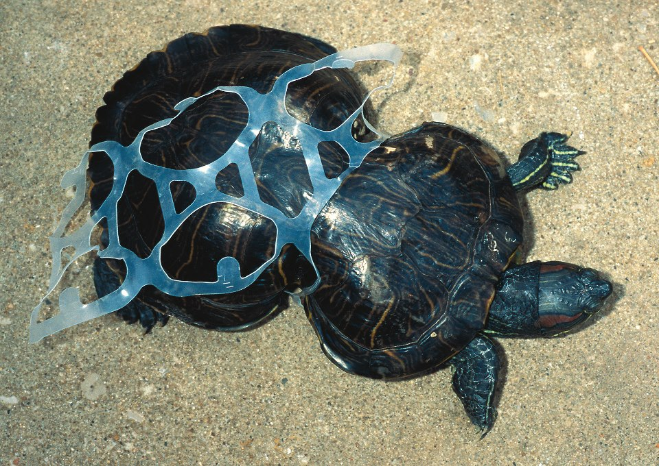 """Image from Inhabitat's article  """"Peanut: The Story Behind a Poor Turtle Deformed by a Six-Pack Ring"""""""