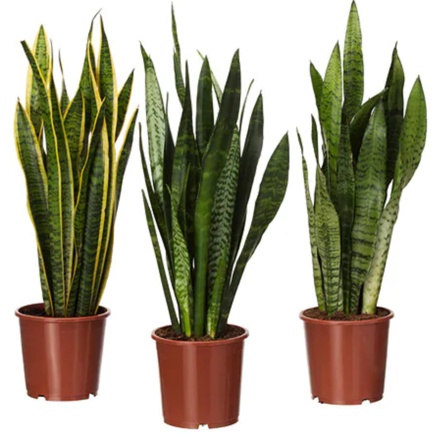 sanseveria plant orc living room.PNG