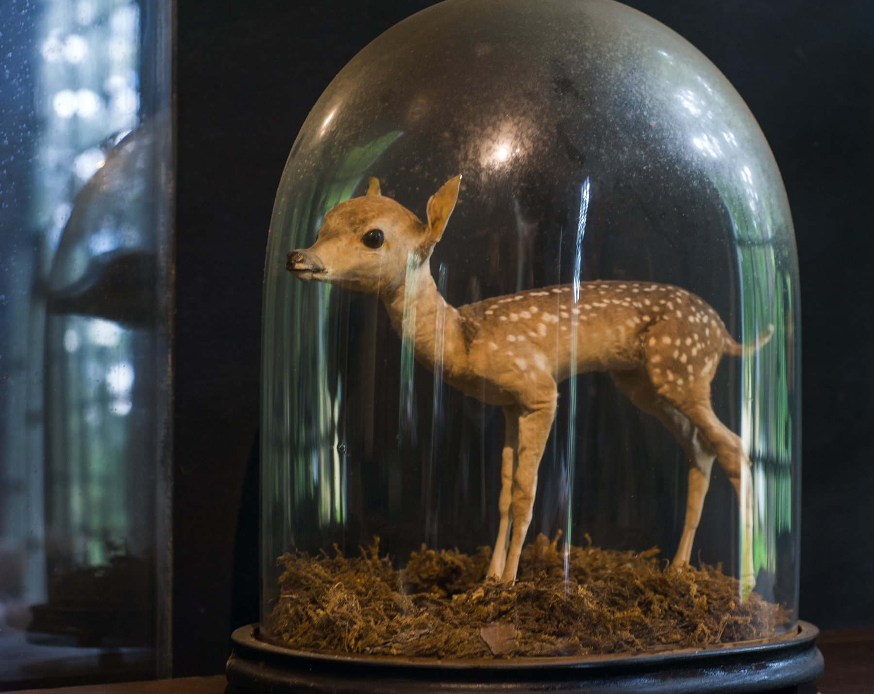 Fawn in bell jar at the Skinner Museum, Mount Holyoke.