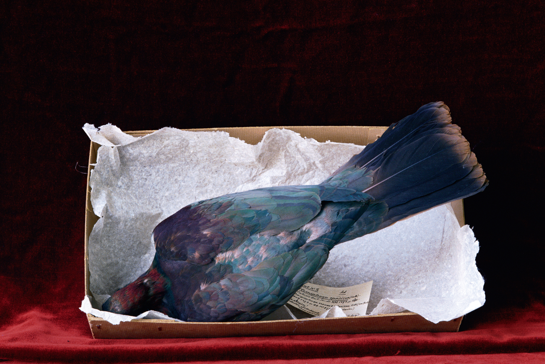 Norfolk Island Kereru, Natural History Museum in Leiden, the Netherlands, from the book 'Swift as a Shadow.'