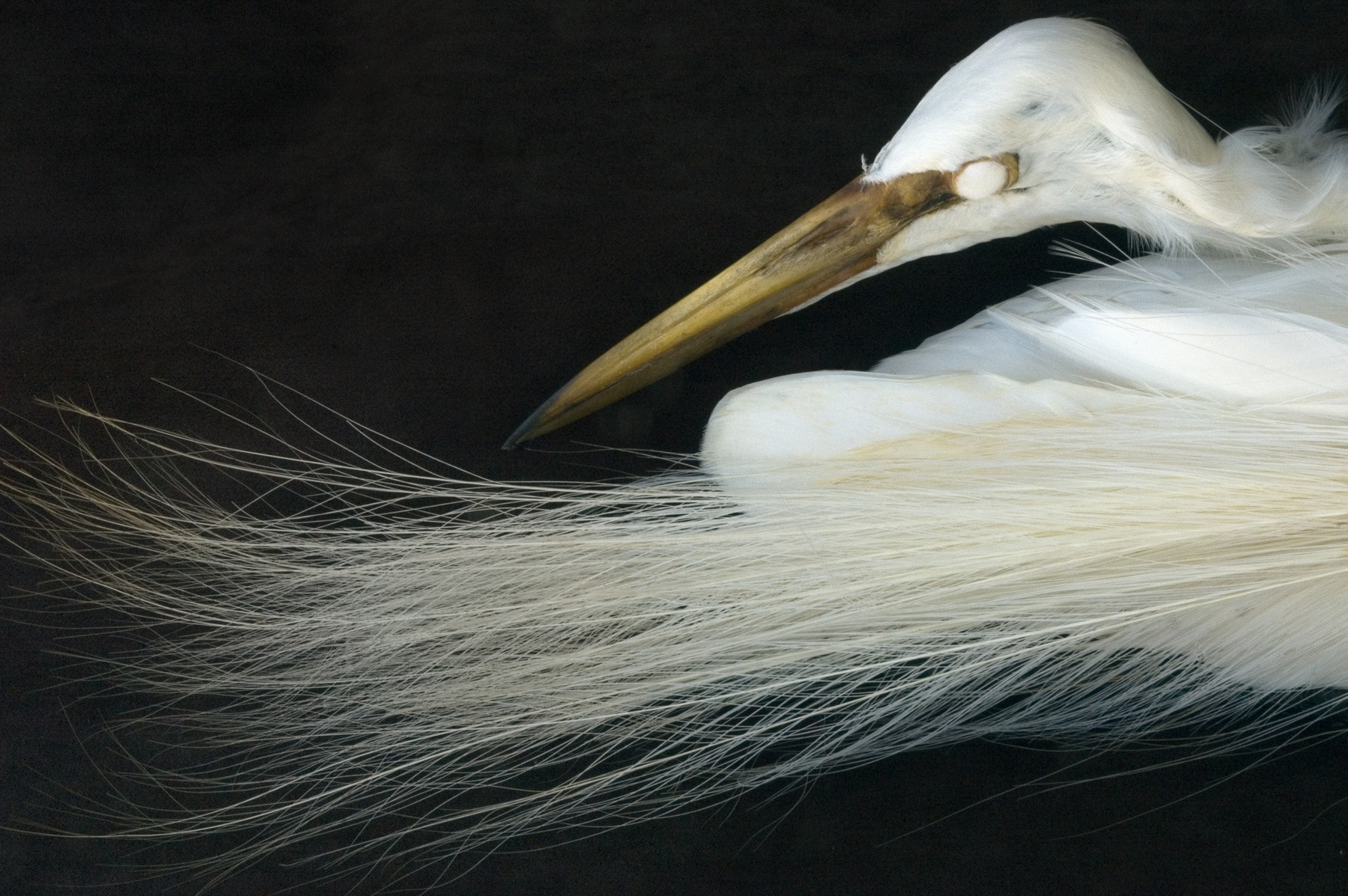 Snowy egret, from the collection of the Western Foundation of Vertebrate Zoology.