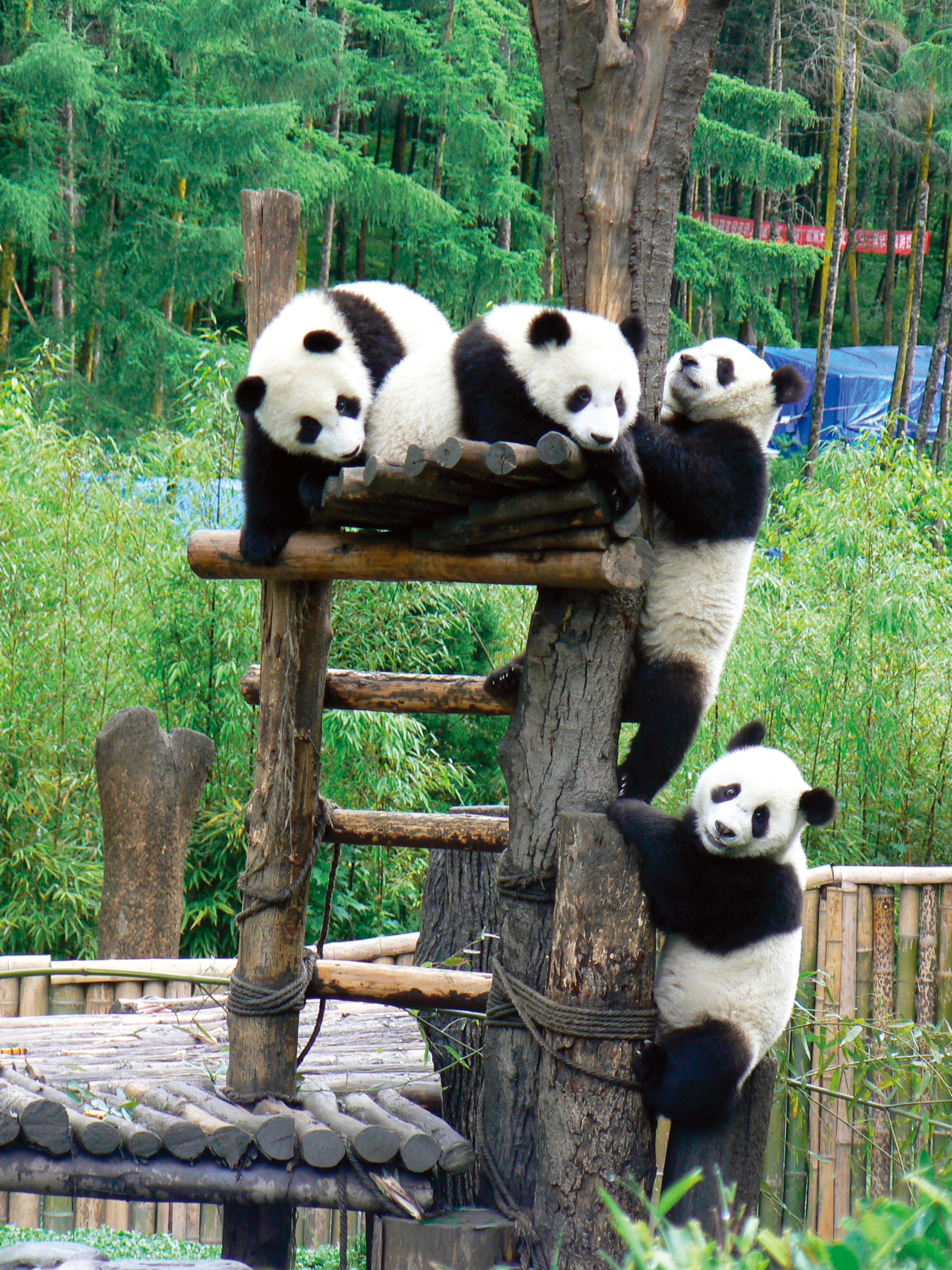 Sichuan Pandas. Photo by WildChina.jpg