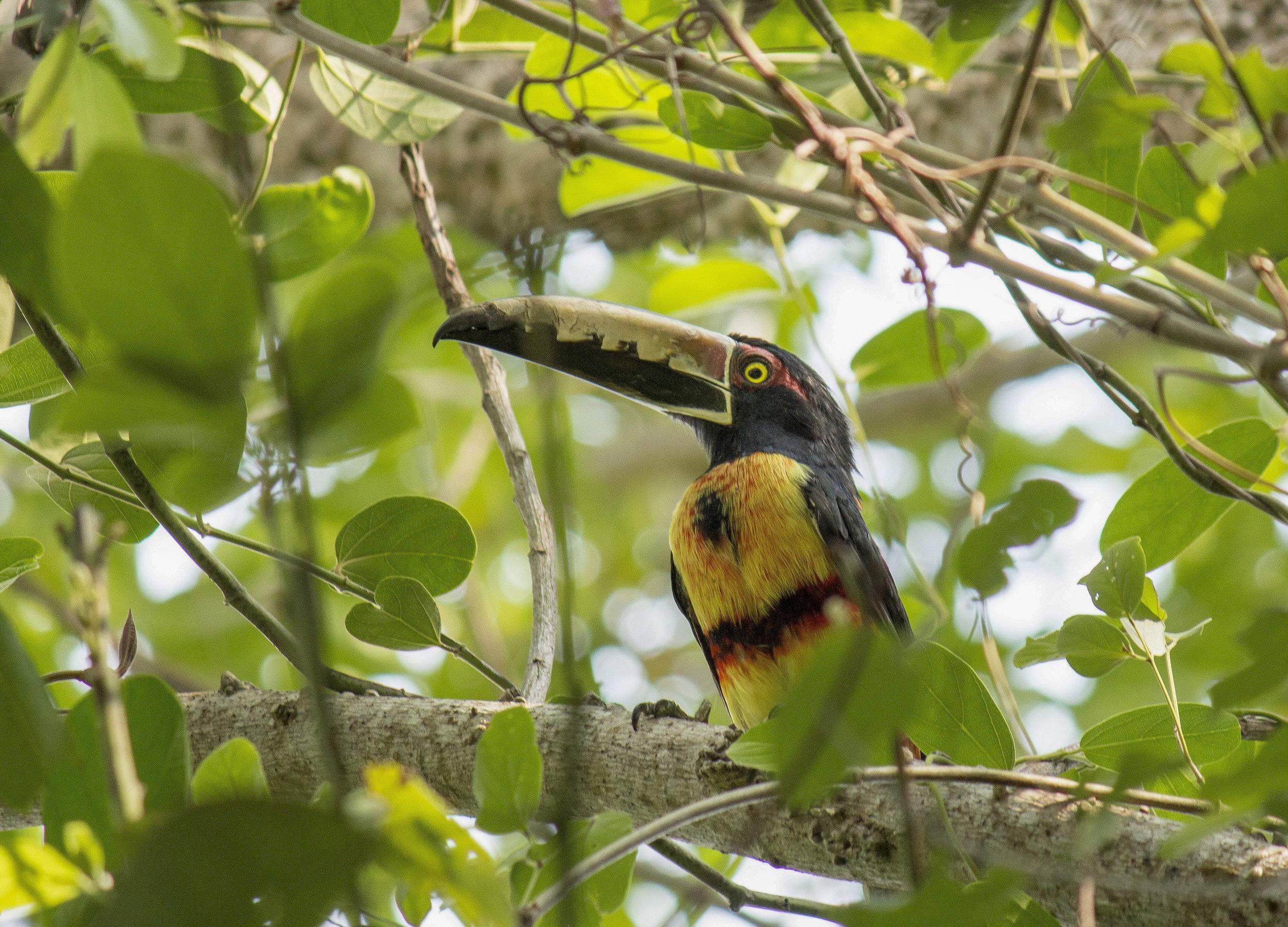 Collared-Aracari-Toucan-Bird-Minca-Sierra-Nevada-de-Santa-Marta-Colombia-Birding-Colombian-Project.jpg