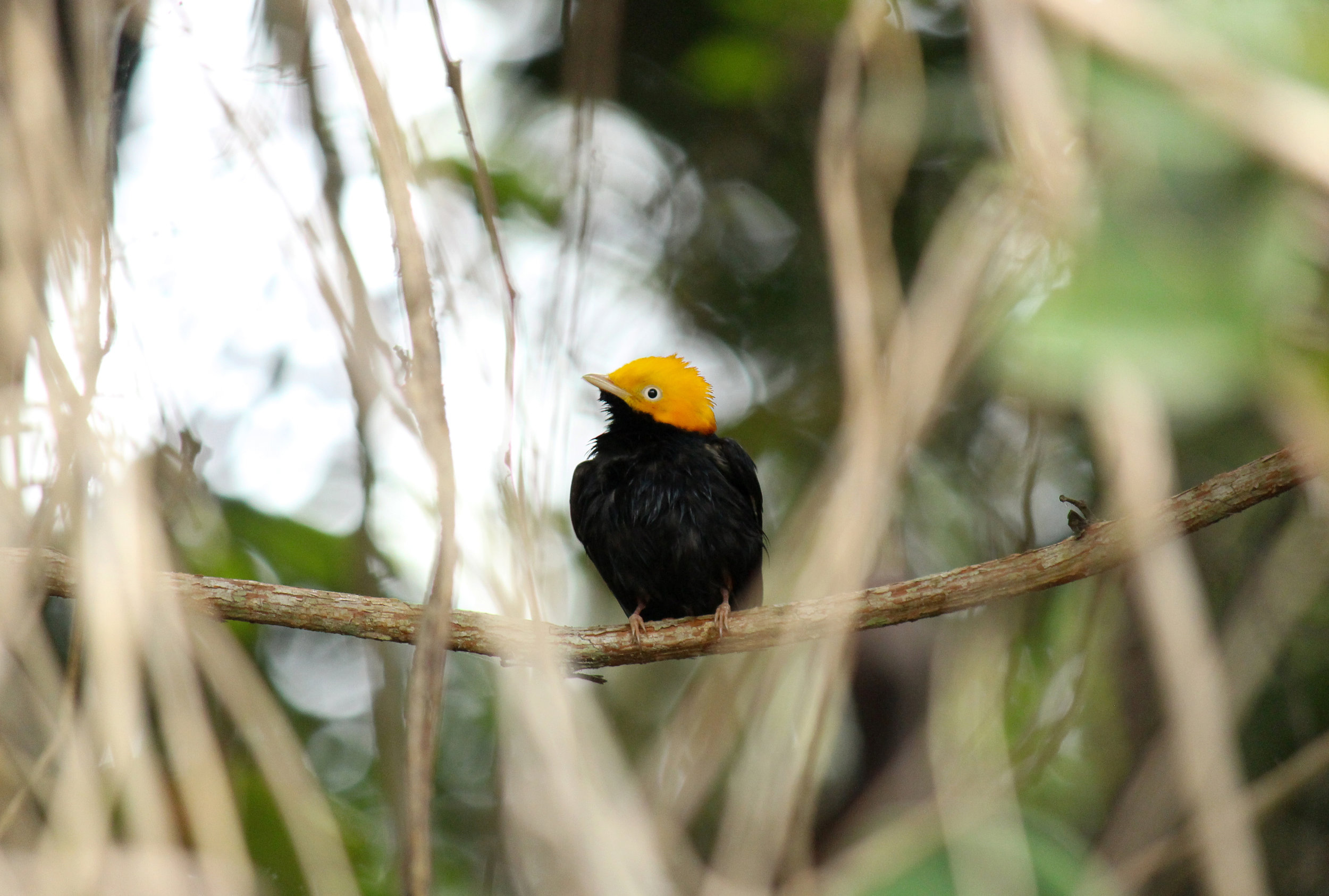 Golden-headed-Manakin-Ceratopipra-erythrocephala-Ciudad Perdida-The-Lost-City-Trek-Sierra-Nevada-de-Santa-Marta-Copyright-Colombian-Project-Photo-Bird-6.jpg