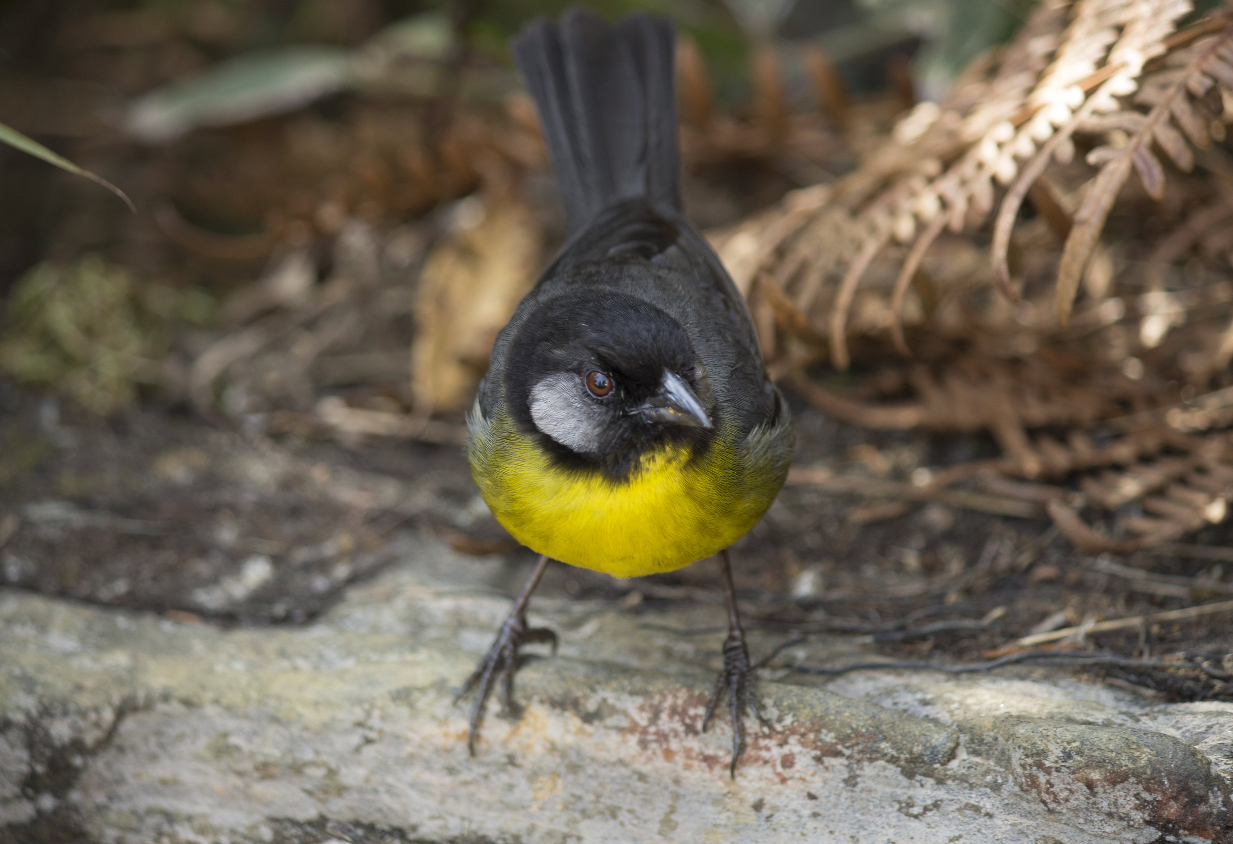 Santa-Marta-Brush-Finch-Atlapetes-melanocephalus-Cuchilla-San-Lorenzo-Sierra-Nevada-de-Santa-Marta-Copyright-Colombian-Project-5.jpg