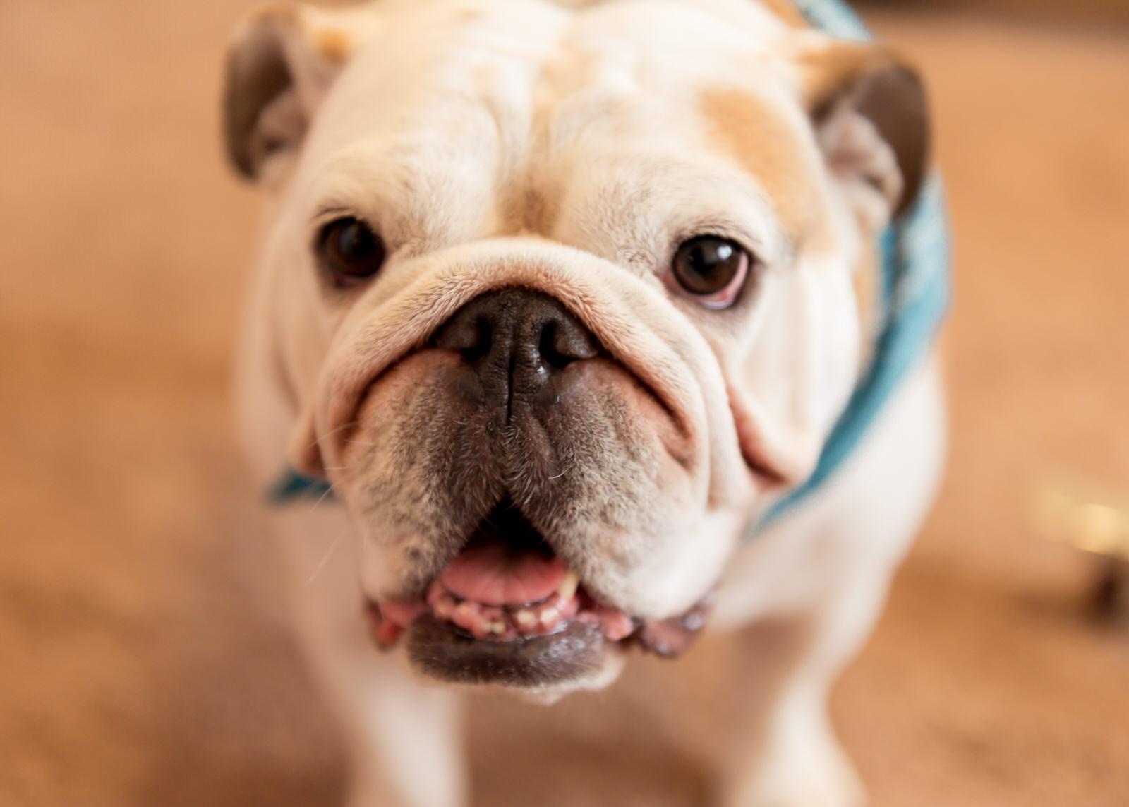 Bainbridge Island Dog Portrait Bulldog.jpg