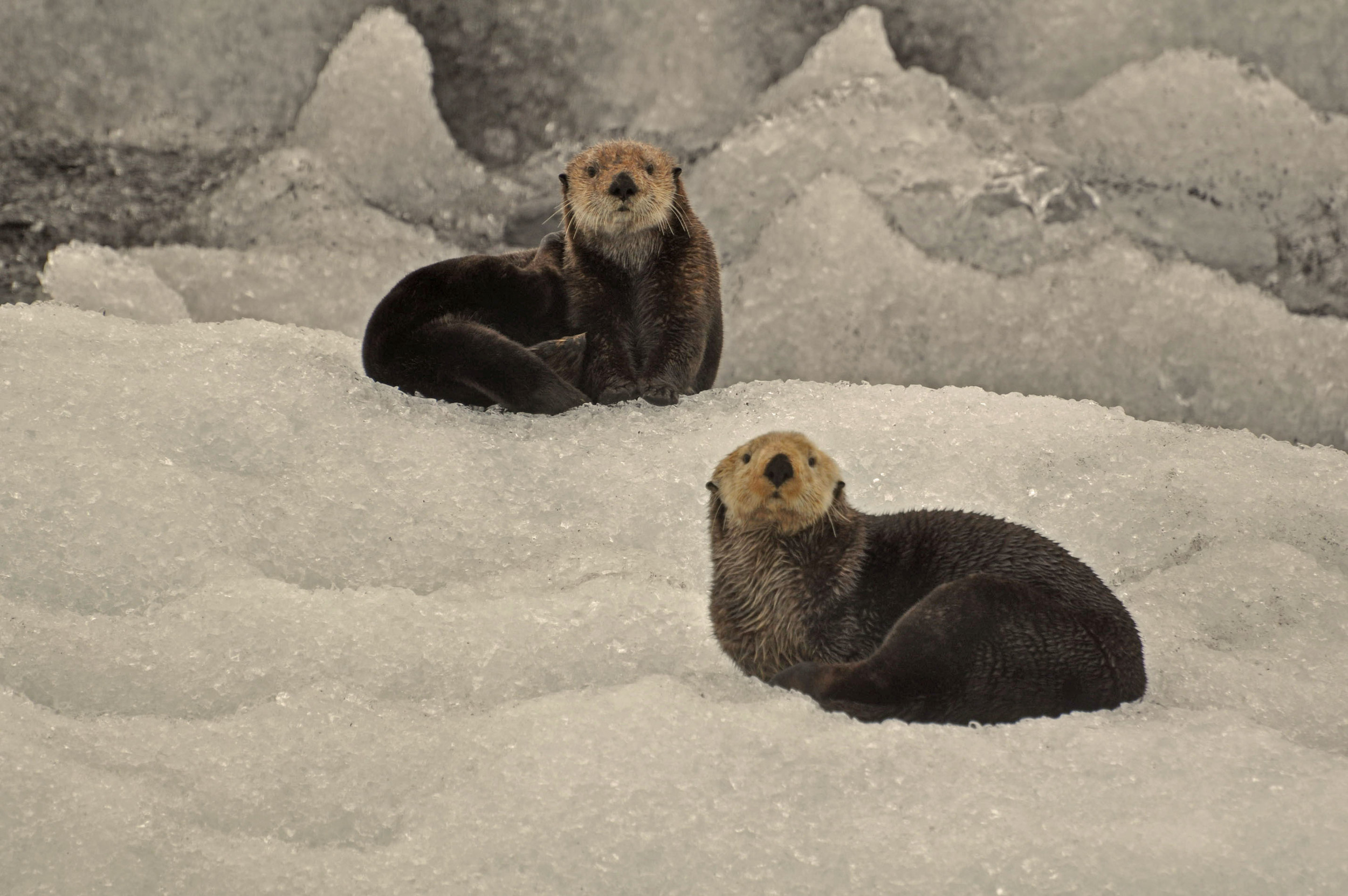 These beauties posing for the otter shot on the glacier.