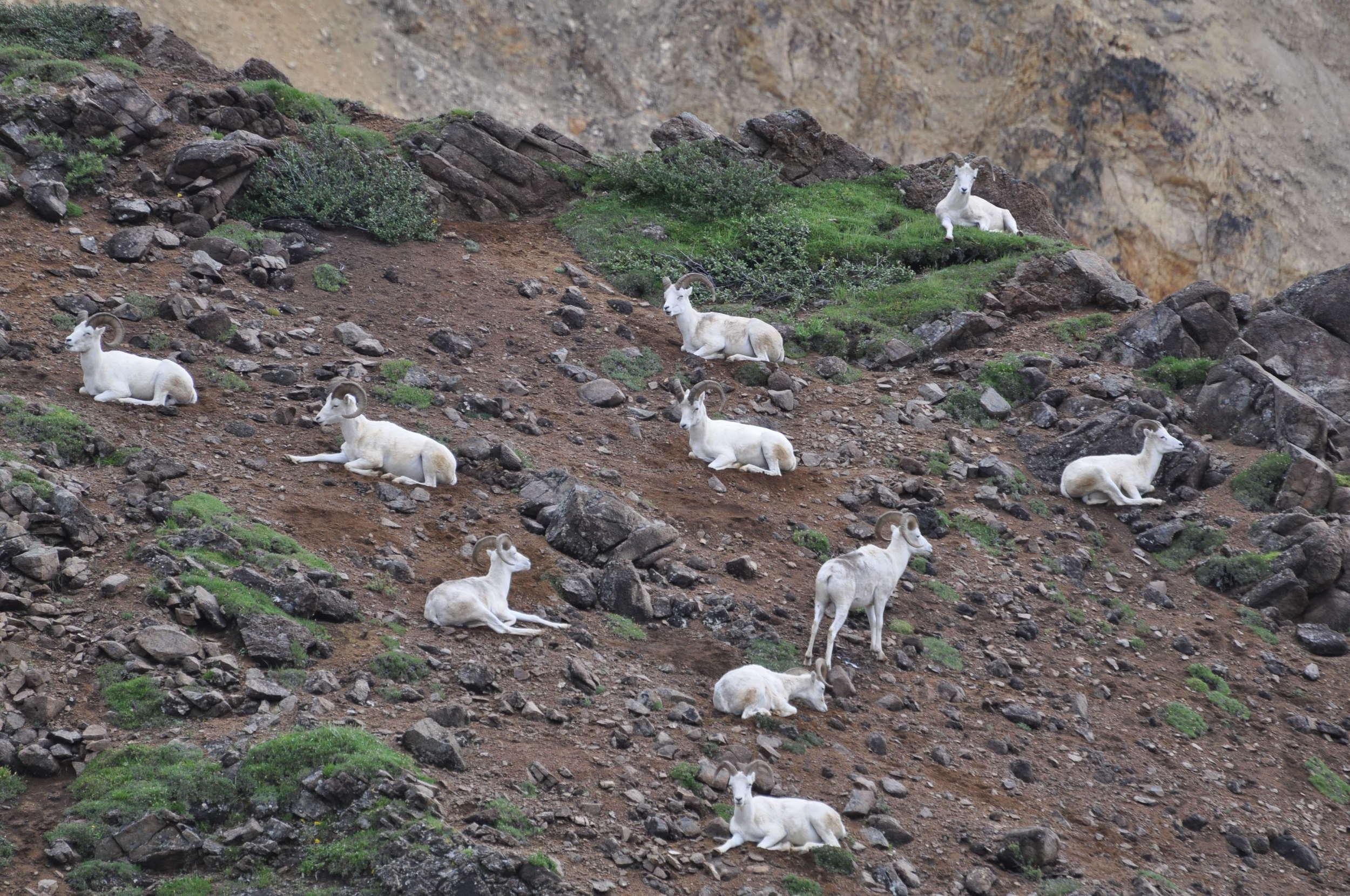 Sheep cliffside at Denali National Park.