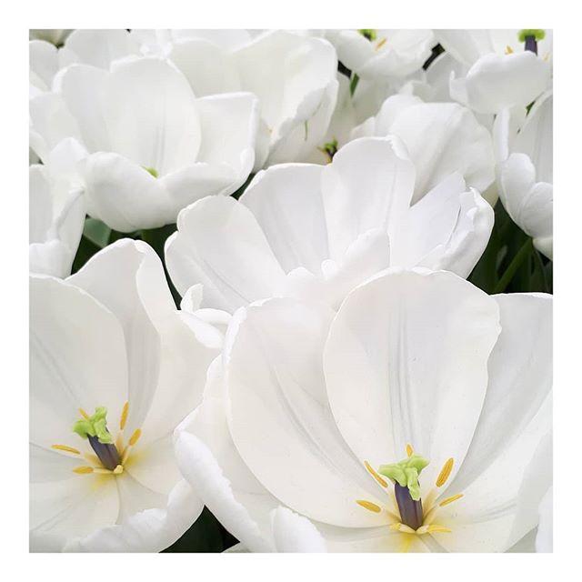 #inspiration • • • • • #tulips #flowers #nofilter #netherlands #dutch #holland #amsterdam