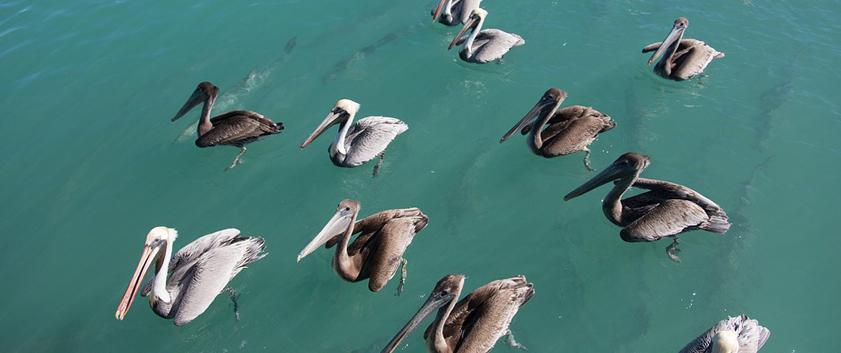 pelican-1310992_960_720.jpg