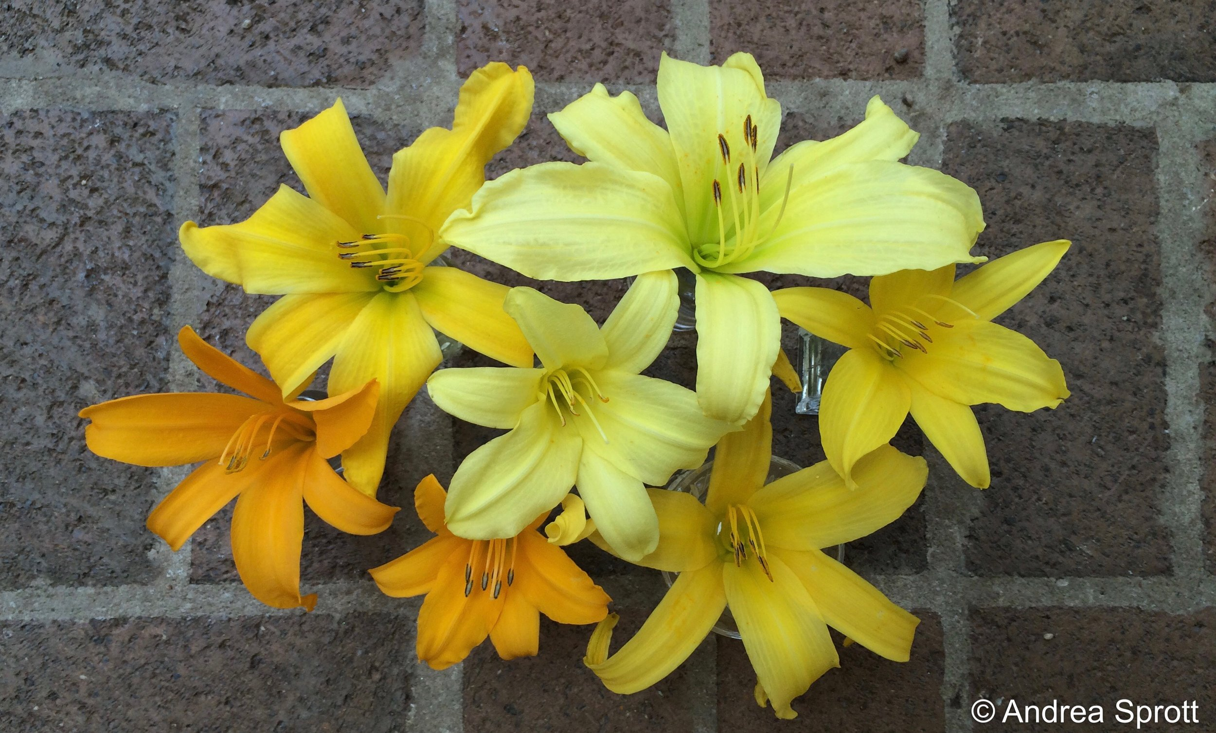 A sampling of Elizabeth Lawrence's daylilies that still brighten her summer borders.
