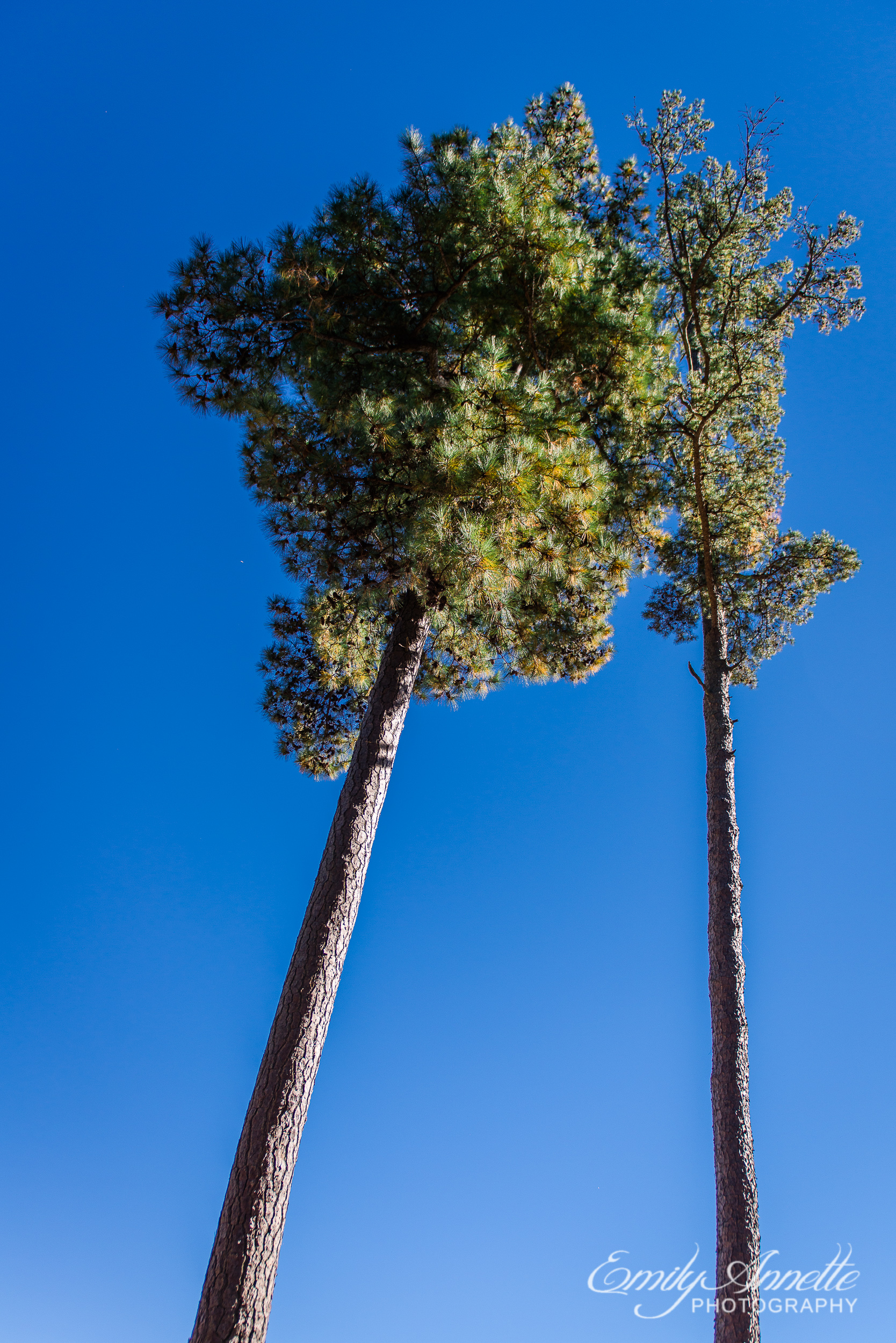 A pair of trees stretching high above Willow Oaks Country Club in Richmond, Virginia