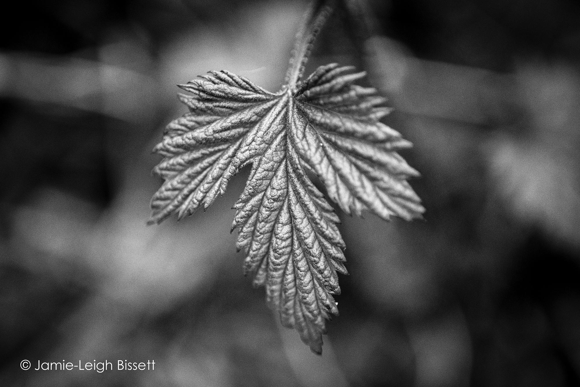 Hops Plant.jpg