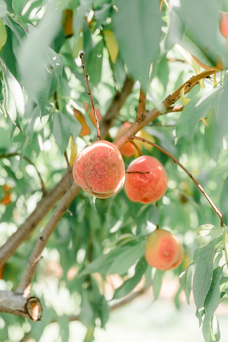 MD-Engagement-Larriland-Farm-Fruit-Picking-31.jpg