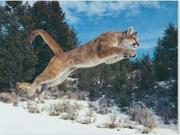 Cougars can leap upwards of 40 feet in the air...