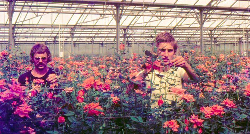 Die größte Rosenzucht des Nahen Ostens stand in Nes Ammim. Im Jahre 2000 musste sie schließen. Rosen aus Afrika sind heute weit günstiger.