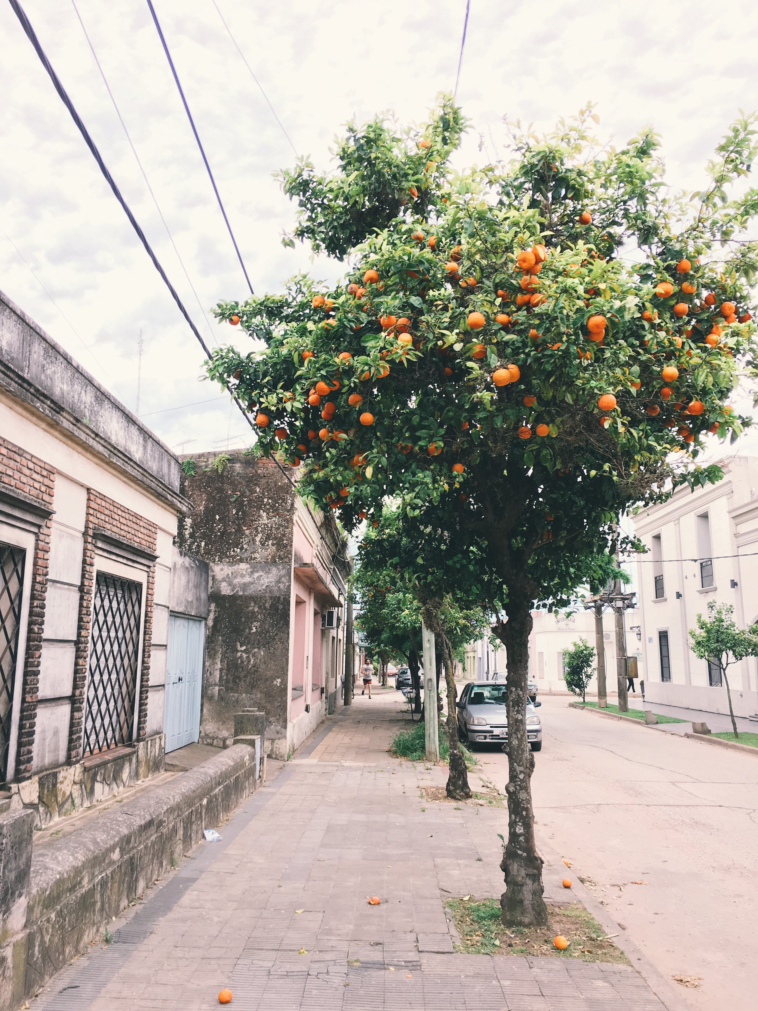 Mandarines Tree